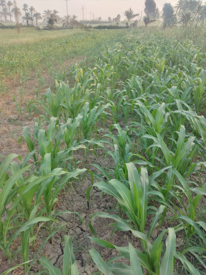 Corn Balady